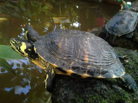 They're so adorable! I think I might want a turtle as a pet someday.