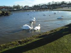 The swans seem happier in the sun