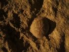 A fossilized sand dollar