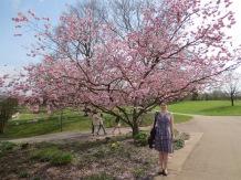 Cherry blossoms in Killesberg Park