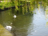 Swans in the lake of Leopold Park