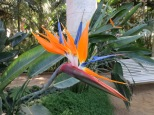 A bird of paradise in the Royal Greenhouses