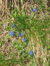 Bright blue Alpine flowers